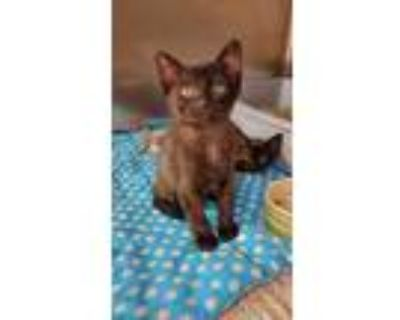 Adopt Rex a All Black Domestic Shorthair / Domestic Shorthair / Mixed cat in