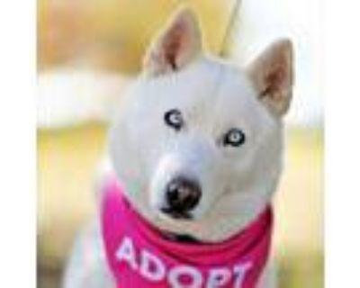 Adopt GoGo a Siberian Husky