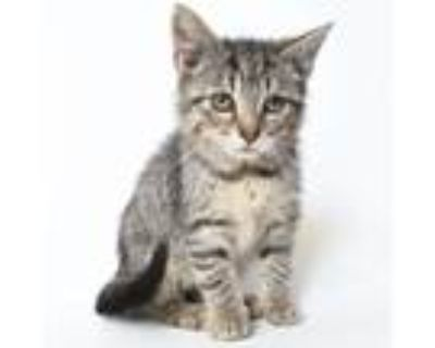 Adopt Graham a Brown or Chocolate Domestic Shorthair / Mixed cat in Springfield