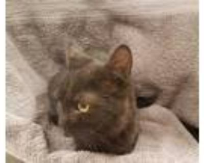 Adopt ANGIE'S ANGEL a Black (Mostly) Domestic Shorthair / Mixed (short coat) cat