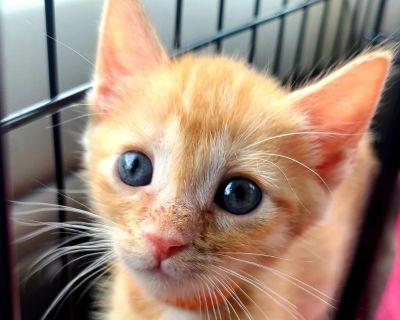 Penny Simons - Domestic Shorthair - Kitten Female