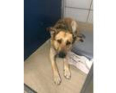 Adopt Madonna a Brown/Chocolate German Shepherd Dog / Mixed dog in Fort Worth