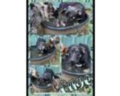 Adopt Gage a Black Pembroke Welsh Corgi / Mixed dog in El Dorado, KS (31715288)