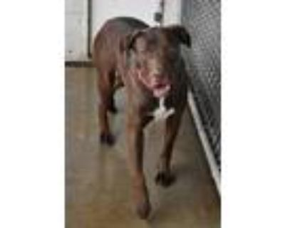 Adopt Jersey a Brown/Chocolate - with White Labrador Retriever / Mixed dog in