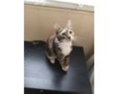 Adopt Little kitty a Calico or Dilute Calico Calico / Mixed (short coat) cat in