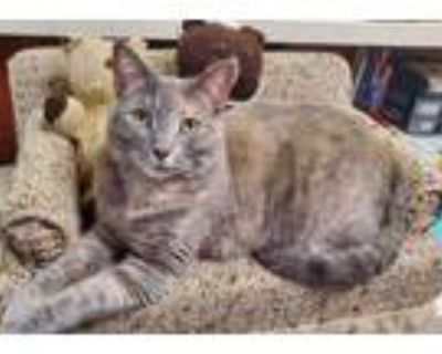 Adopt Jelly Bean a Gray or Blue Domestic Shorthair / Domestic Shorthair / Mixed