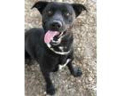 Adopt BAILEY a Black American Pit Bull Terrier / Labrador Retriever / Mixed dog