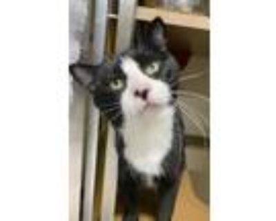 Adopt alfie a All Black Domestic Shorthair / Domestic Shorthair / Mixed cat in