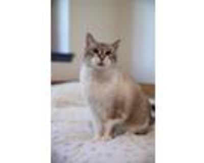 Adopt Bella Rose a Cream or Ivory (Mostly) Domestic Shorthair (short coat) cat