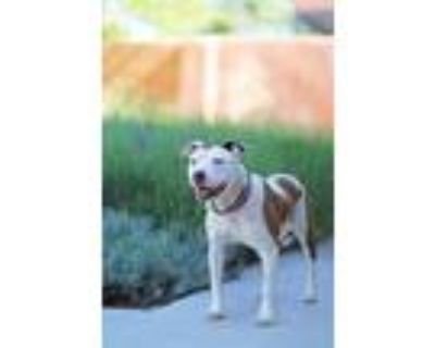 Adopt Tulip a Pit Bull Terrier