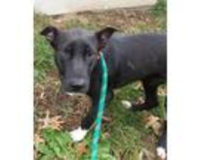 Ripley, Labrador Retriever For Adoption In Gilbertsville, Pennsylvania