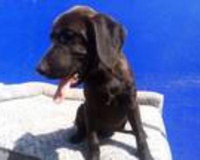 Adopt Coco Bear a Labrador Retriever