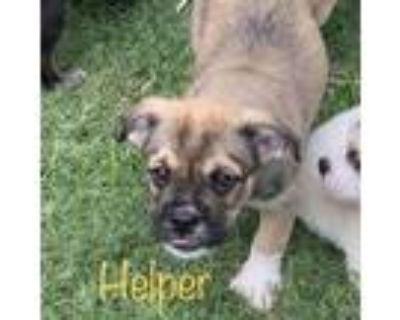 Adopt Helper 21-03-151 a Brindle Terrier (Unknown Type, Small) / Mixed dog in