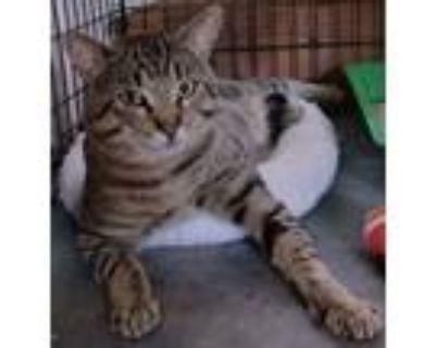 Adopt Tiger a Brown Tabby Domestic Shorthair (short coat) cat in Pasadena