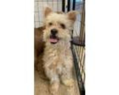 Adopt Boyer a Poodle (Standard) / Terrier (Unknown Type, Small) / Mixed dog in
