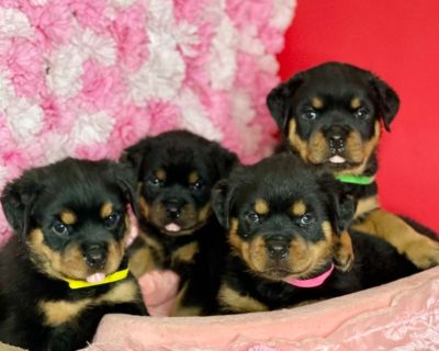 Akc German Rottweiler puppies with high quality bloodline.