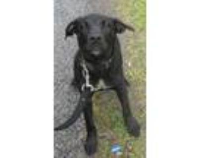Adopt 94527 a Labrador Retriever, Terrier