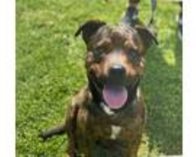 Adopt Rocky a Brindle American Pit Bull Terrier / Mixed dog in Phoenix