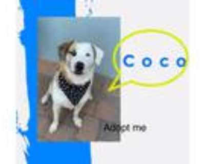 Adopt Coco a White - with Brown or Chocolate Australian Shepherd / Husky / Mixed