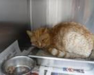 Adopt A590394 a Orange or Red Domestic Shorthair / Mixed (short coat) cat in