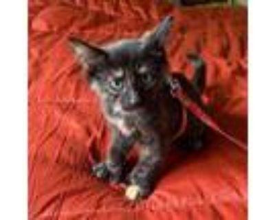 Adopt Spyder a Domestic Short Hair