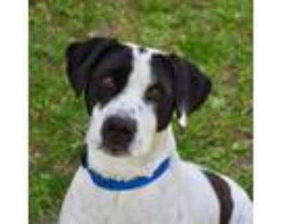 Adopt Gus a Labrador Retriever, Pointer