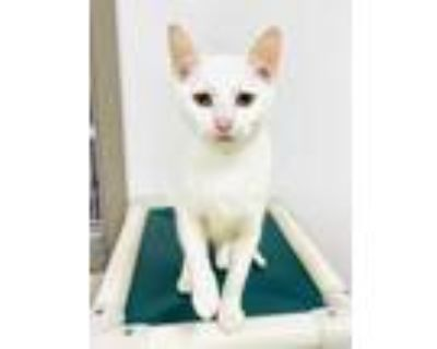Adopt Lucinda a White Domestic Shorthair / Domestic Shorthair / Mixed cat in
