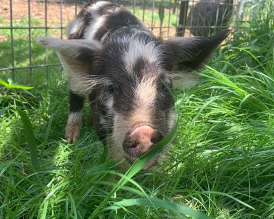 Wooly-Kune Piglets