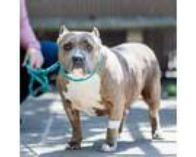 Adopt Ursala a Brindle - with White American Pit Bull Terrier / Mixed dog in