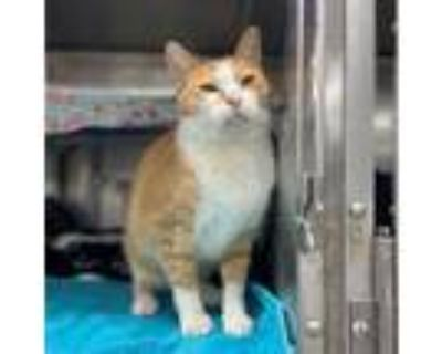 Adopt Eeyore a Orange or Red (Mostly) Domestic Shorthair (short coat) cat in