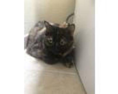 Adopt Bella a Tortoiseshell American Shorthair / Mixed (medium coat) cat in