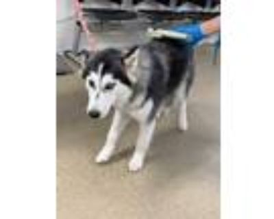 Adopt ADOPTED a Black Husky / Mixed dog in Fort Worth, TX (32011607)