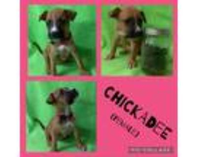 Adopt Chickadee a White - with Tan, Yellow or Fawn Boxer / Mixed dog in El