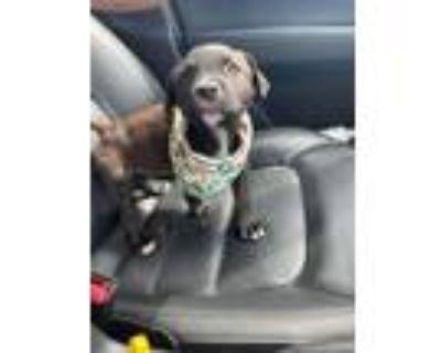 Adopt RiRi a Terrier, Boxer