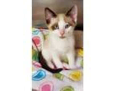 Adopt Woody a Tan or Fawn Domestic Shorthair / Domestic Shorthair / Mixed cat in