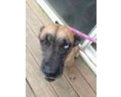 Adopt Emily a Brown/Chocolate - with Black Shepherd (Unknown Type) dog in