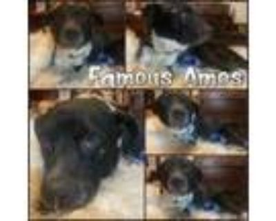 Adopt Famous Amos a Border Collie