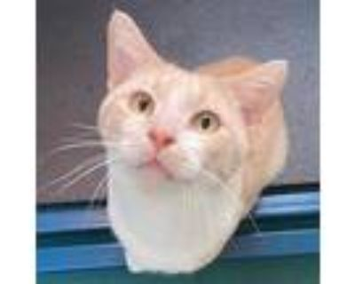 Adopt Jeremy a Tan or Fawn Domestic Shorthair / Domestic Shorthair / Mixed cat
