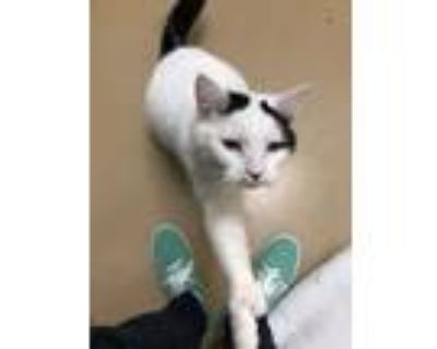 Adopt Mittens a Extra-Toes Cat / Hemingway Polydactyl