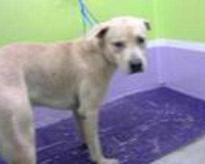 Adopt BINGO a Tan/Yellow/Fawn - with White Labrador Retriever / Mixed dog in