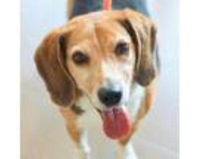Adopt Buddy a Black Beagle / Mixed dog in Alpharetta, GA (31958259)