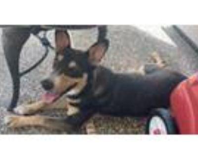 Adopt Tin Tin a Australian Cattle Dog / Blue Heeler