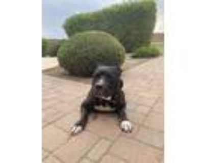 Adopt Lou a Black American Pit Bull Terrier / Mixed dog in Phoenix