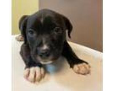 Adopt Nickel a Boxer, Labrador Retriever