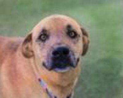 Adopt SPRUCE a Brown/Chocolate - with White Labrador Retriever / Mixed dog in