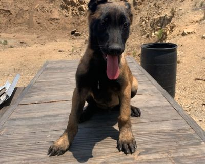 Belgian Malinois Puppy for Sale - Louie