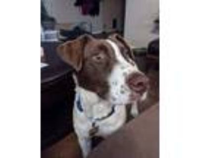 Adopt Avery a White - with Brown or Chocolate Australian Cattle Dog / Mixed dog