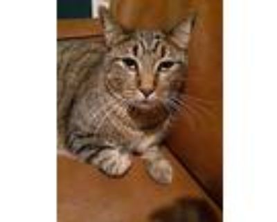 Leo, Domestic Shorthair For Adoption In Houston, Texas