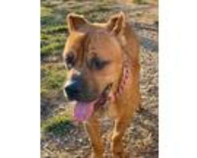 Adopt Clay a Red/Golden/Orange/Chestnut Cane Corso / Mixed dog in Hopkinsville