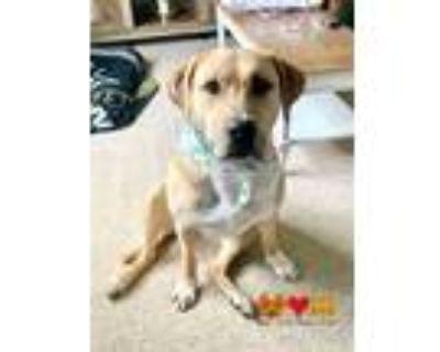 Adopt BIRDIE a Tan/Yellow/Fawn - with White Beagle / Labrador Retriever / Mixed